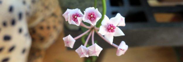 Hoya lithophytica 091716b