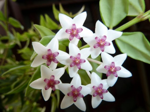 The Very Beautiful Standard Hoya bella - A Glorious Houseplant for Decades.