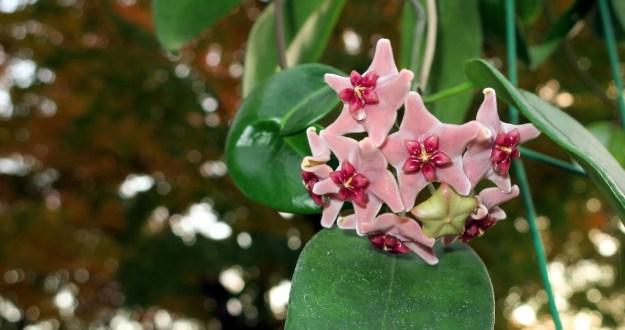 Hoya vitiensis 112316a