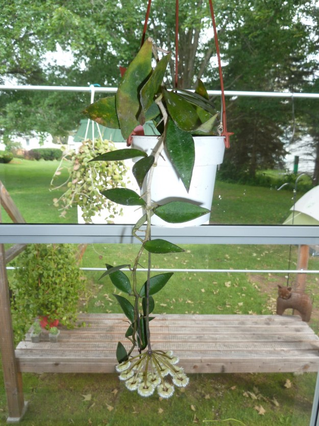 Hoya mirabilis Clone A 111416c