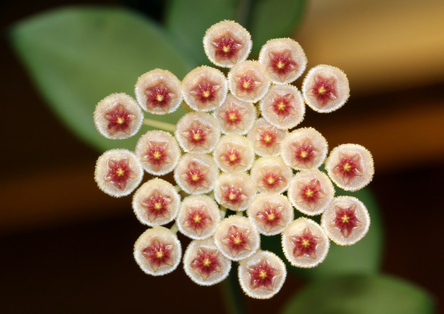 Hoya sipitangensis 122016a