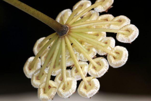 Hoya sipitangensis 122216b