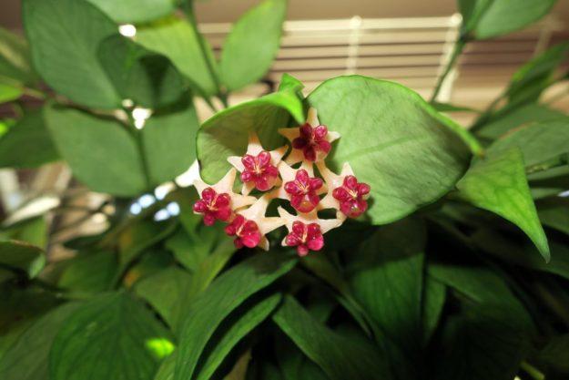 Hoya polyneura 120216a