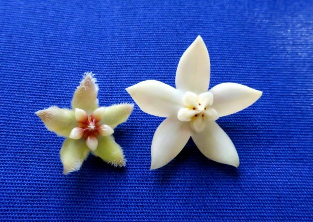 Hoya halconesis on the left and Hoya griffithii on the Right.