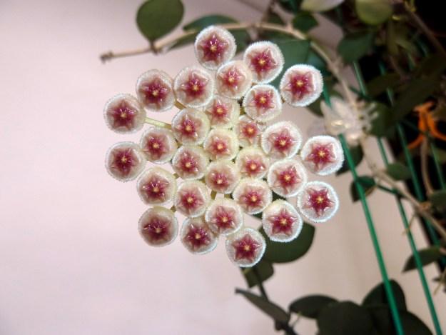 Hoya sipitangensis 122416