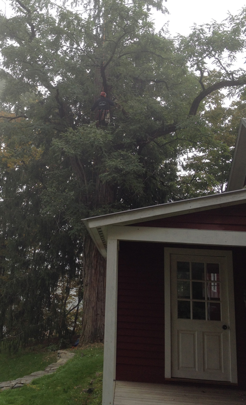 Black Locust Tree Getting A Makeover Vermont Woods