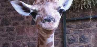 Millie_the_giraffe
