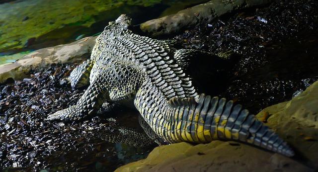 Crocodile Tail