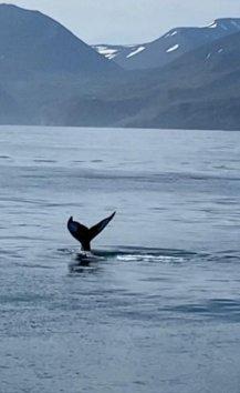 Balena al largo di Húsavik