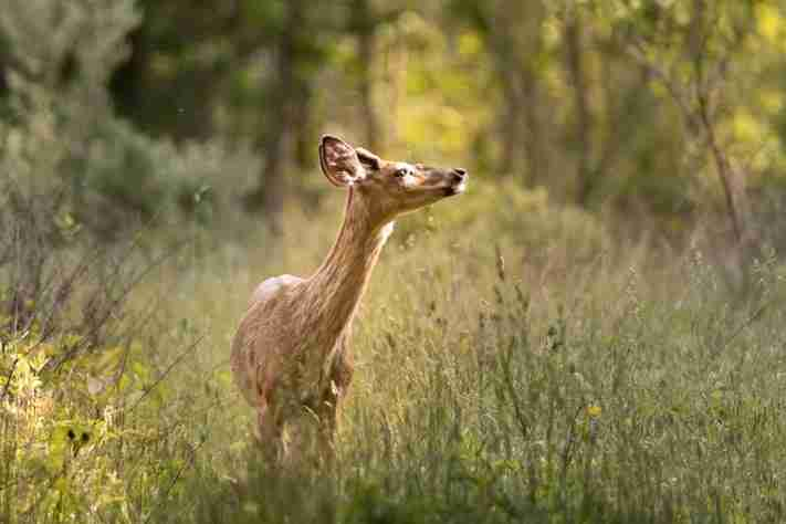 White-Tailed deer in golden hour light