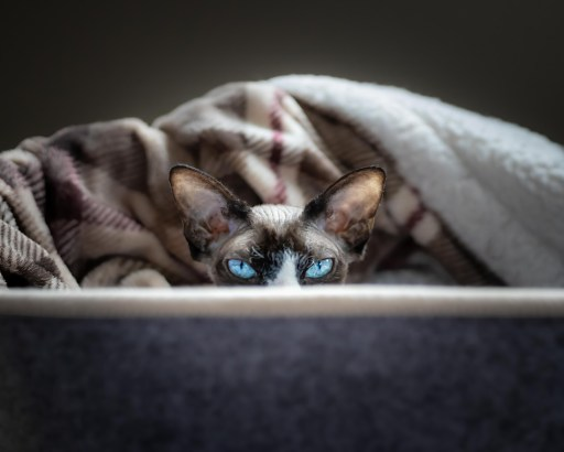 a Sphynx cat peeking over a basket's edge