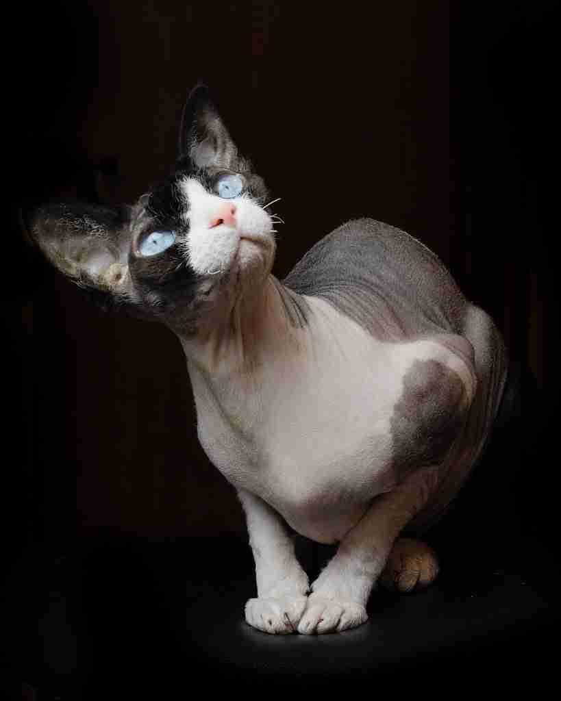 A bald cat shown exposed correctly for calculating exposure post