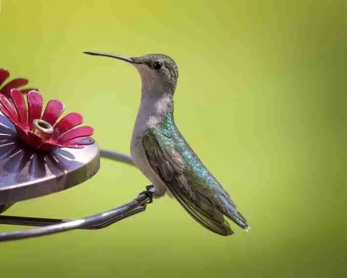 a Hummingbird perched on a feeder