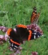 Here's the upper side of the red admiral; cousin American lady nearby