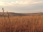 Honey-colored Prairie 2