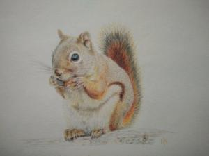 squirrel in colour pencil