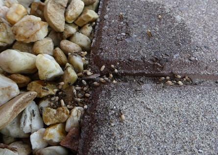 Mierenverhuizing