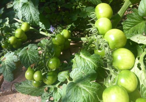 veel groene tomaatjes