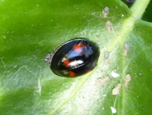 zwart lieveheersbeestje met luizen