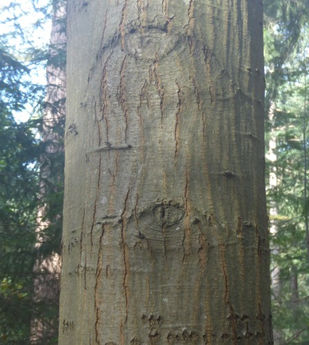 boom met ogen