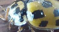 schaakbordlieveheersbeestje