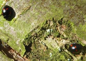 viervleklieveheersbeestje