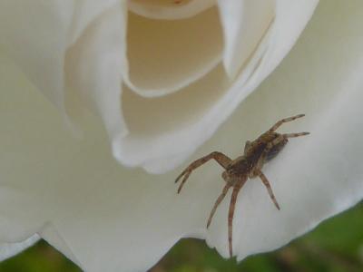 spin op rozenblaadje