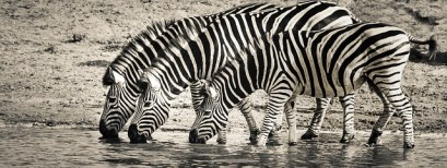 zebra-3044577_640