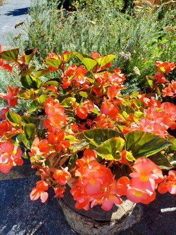 Bronze Leaf Red Wax Begonia__20210905_104449.jpg