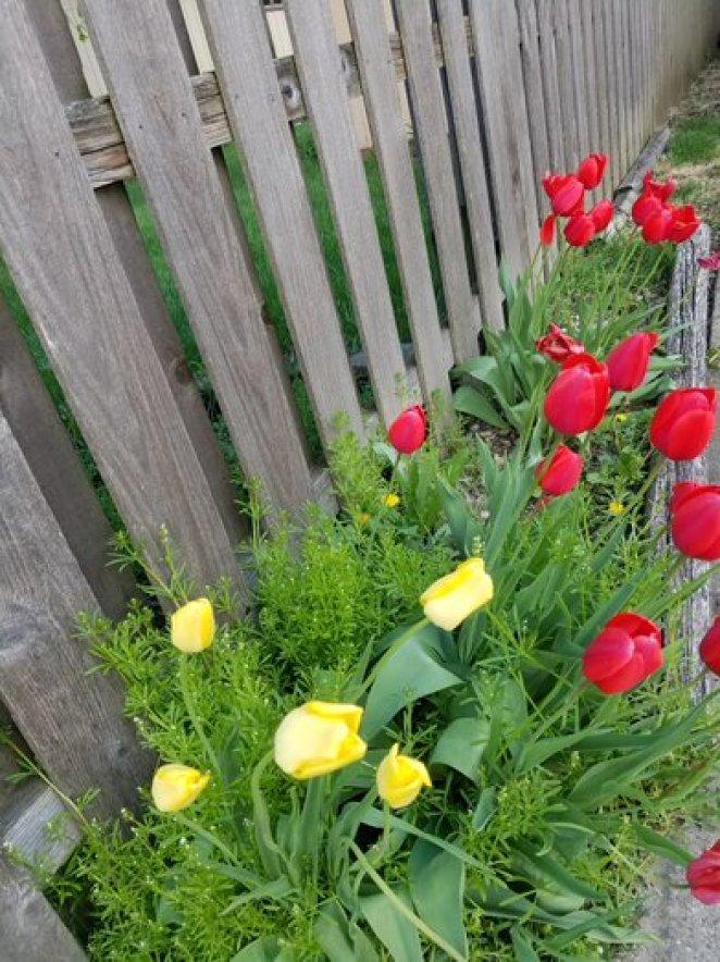 Tulips-Red & Yellow Portrait__20190510_181647.jpg