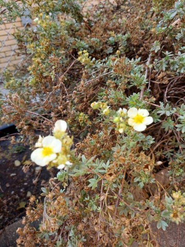 Sunrose Willow Flower__20210914_103350.jpg