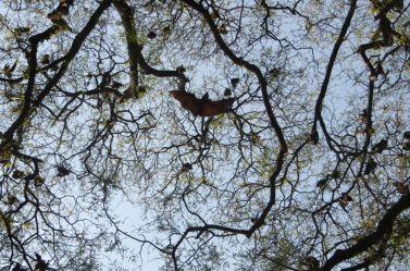 Fruit Bats, Theosophical Society - Adyar