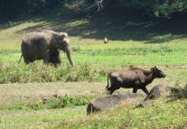 Indian Elephant / Gaur, Thekkady