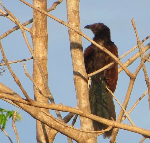 Southern Coucal, Ponneri