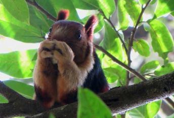 Malabar Giant Squirrel, Thekkady