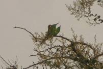 Green Bee Eaters, Vedanthangal
