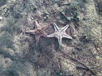Starfishes, Alamparai Fort