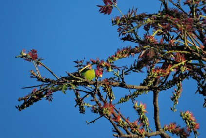 Plum-Headed Parakeet, Valparai