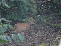 Barking Deer