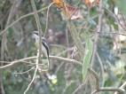 Bar Wing Flycatcher Shrike