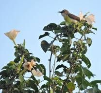 Purple-Rumped Sunbird (female), Chennai