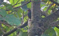 Emerald Dove, Munnar