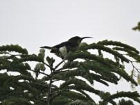 Loten's Sunbird, Munnar