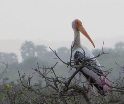 Painted Stork, Vedanthangal