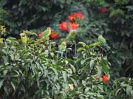 Plum-Headed Parakeets, Kerala