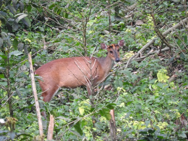 Barking Deer, Valparai