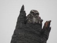 Spotted Owlet, Chennai