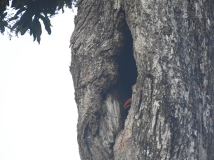 Great Indian Hornbill - juvi, Valparai