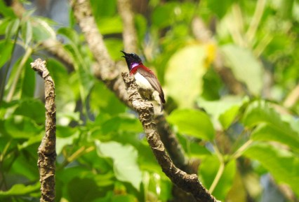 Crimson-Backed Sunbird, Thattekad