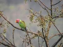 Plum-Headed Parakeet (Male), Thattekad